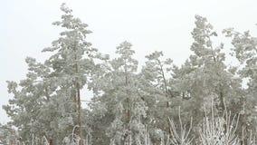 Filiais das árvores cobertas com o hoarfrost video estoque