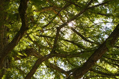 Filiais de árvore Imagem de Stock