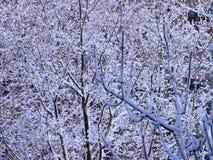 Filiais de árvore cobertas com a neve foto de stock royalty free