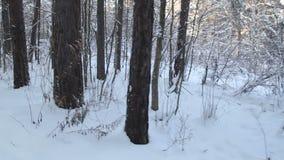 Filiais de árvore cobertas com a neve País das maravilhas do inverno Passeio nas madeiras do inverno tiro do steadicam filme