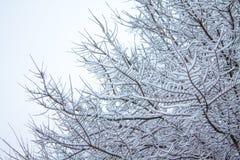Filiais de árvore cobertas pela neve Imagem de Stock