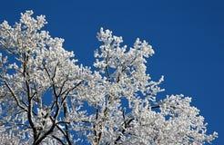 Filiais de árvore cobertas pela neve, isolada na SK azul Imagens de Stock