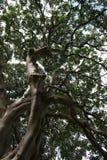 Filiais de árvore com as folhas com nebuloso Fotografia de Stock Royalty Free