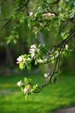 Filiais de árvore de Apple Fotos de Stock Royalty Free