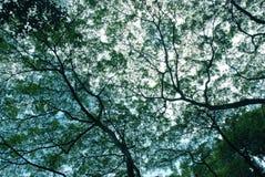 filiais de árvore de singapore Foto de Stock