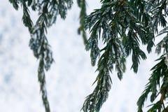 Filiais de árvore do abeto da neve sob a queda de neve Detalhe do inverno Fotografia de Stock