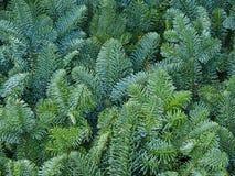 Filiais de árvore do abeto do pinho do Natal Foto de Stock