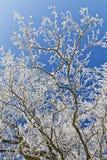 Filiais de árvore do carvalho Fotos de Stock