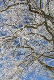Filiais de árvore do carvalho Imagens de Stock