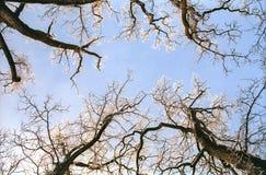 Filiais de árvore do carvalho de Hoarfrosted fotografia de stock royalty free