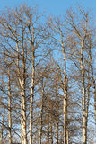 Filiais de árvore do inverno Foto de Stock