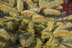 Filiais de árvore do Natal Imagem de Stock