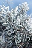 Filiais de árvore do pinho Fotos de Stock