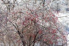 Filiais de árvore geladas Fotos de Stock