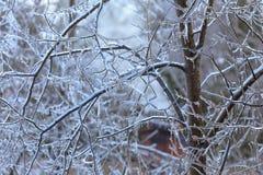 Filiais de árvore geladas Fotos de Stock Royalty Free