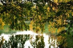 Filiais de árvore que penduram sobre o lago Imagem de Stock Royalty Free