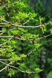 Filiais de árvore Sprouting Fotografia de Stock
