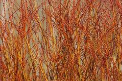 Filiais de árvore sprouting da mola Fotos de Stock Royalty Free