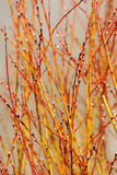 Filiais de árvore sprouting da mola Fotografia de Stock Royalty Free