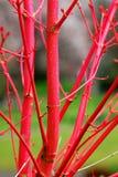 Filiais de árvore vermelhas Foto de Stock Royalty Free