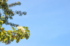 Filiais de florescência de uma árvore Fotografia de Stock Royalty Free