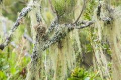 Filiais de Lichened na floresta húmida da montanha imagem de stock royalty free