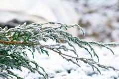 Filiais de árvore do abeto da neve sob a queda de neve Detalhe do inverno Fotografia de Stock Royalty Free