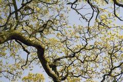 Filiais de uma árvore velha fotografia de stock