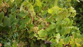 Filiais de uvas maduras filme