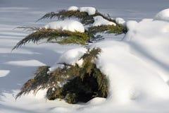 Filiais do cedro branco na neve Fotografia de Stock Royalty Free