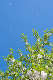 Filiais do Poplar com topetes da semente fotos de stock