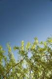 Filiais e céu azul Imagens de Stock Royalty Free
