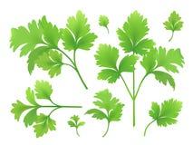 Filiais e folhas da salsa ilustração stock