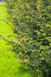 Filiais espinhosas de uma pele-árvore Foto de Stock Royalty Free