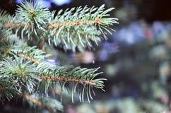 Filiais Spruce Imagem de Stock