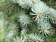 Filiais Spruce Imagens de Stock