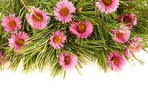 Filiais Spruce e flores roxas Imagens de Stock Royalty Free
