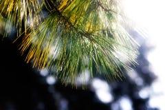 Filiais Spruce na luz solar Fotos de Stock
