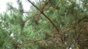 Filiais verdes do pinho Ramos verdes da árvore ou do pinho de abeto filme