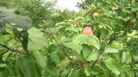 Filiais verdes do pinho Ramos verdes da árvore ou do pinho de abeto Maçã vermelha no ramo Close-up em uma maçã vermelha grande qu video estoque