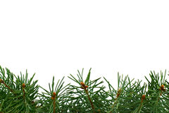 Filiais verdes frescas do abeto Imagens de Stock Royalty Free