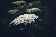 Filial av äldre träd med den vita blomningen Arkivfoton