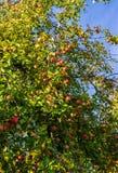 Filial av äppleträd som böjer under vikten av frukt Höstfruktträdgård arkivbilder