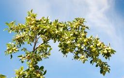 Filial av äppleträdet med frukter mot blå himmel Arkivbild
