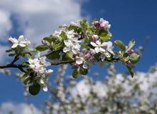 Filial av äppletreen Arkivbilder