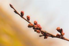 Filial av aprikons arkivfoton