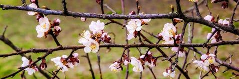 Filial av aprikons med fina vita blommor, en ljus vårday_ Royaltyfria Foton