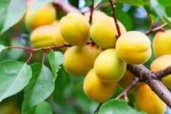 Filial av aprikosträdet Arkivbild