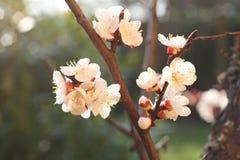 Filial av aprikosträdet Royaltyfria Bilder