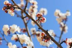 Filial av aprikosträdet Royaltyfri Fotografi